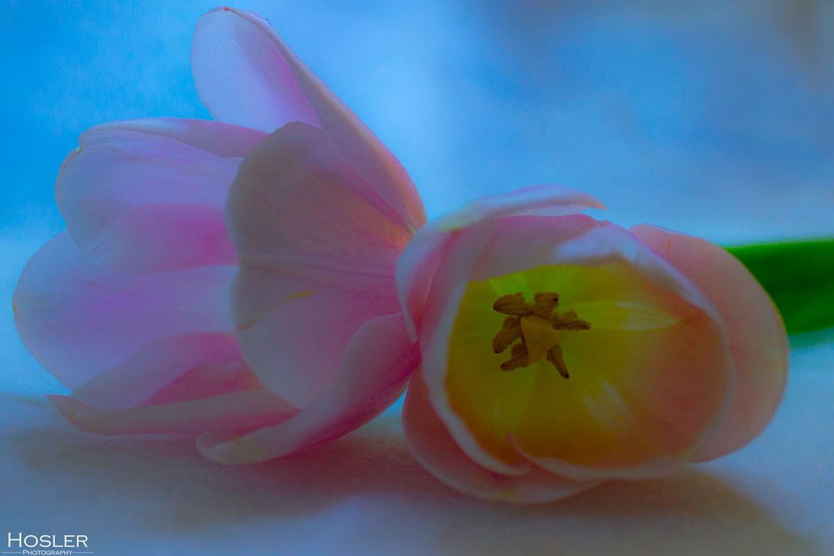 2018-April-16---Tulip-2
